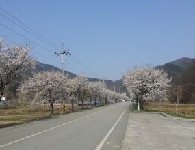 한국의 아름다운 길 100선 청양 장곡사 벚꽃길을 지나가다가 너무나 아름다워서 몇장의 사진을 올려봅니다  작성일 : 2018-04-09